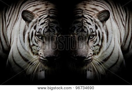 Black & White Twin Beautiful Tigers Face To Face Isolated On Black Background
