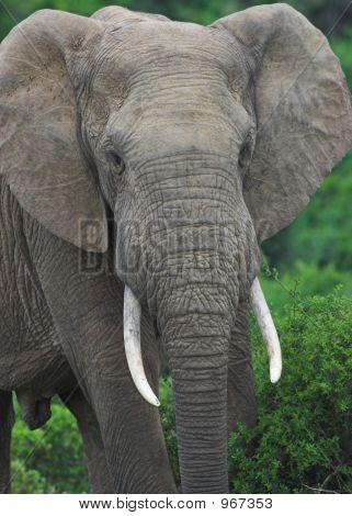 Elephant Bull1