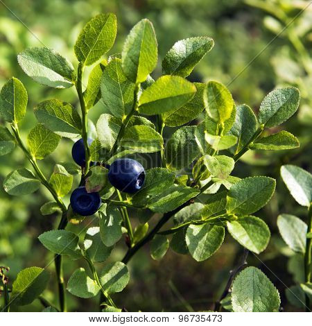 Bilberry, Whortleberry Or European Blueberry