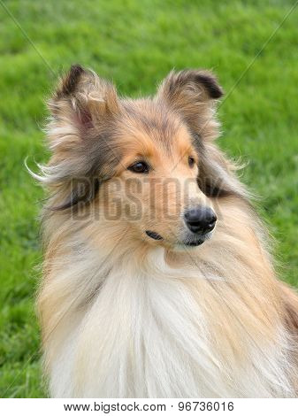 The Portrait Of Shetland Sheepdog On A Green Grass Lawn