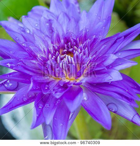 Purple Waterlily Or Purple Lotus Flower With Water Drop