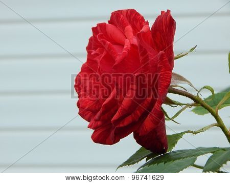 One red rose over white background