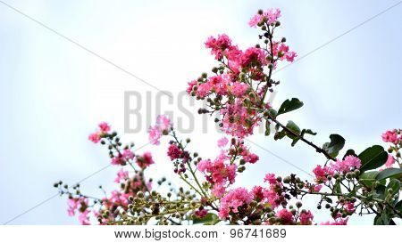 Pink Crepe Myrtle Blooms On Sky Background.