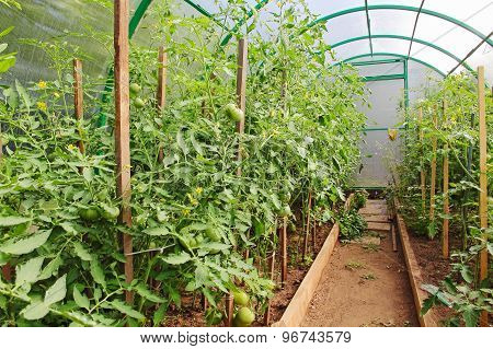 Tomatoes In Greenhouse.