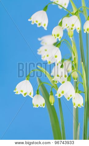 Cluster Of Leucojum Sp.