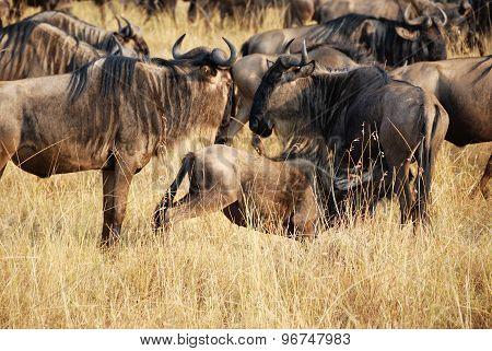 Gnu In Masai Mara, Kenya