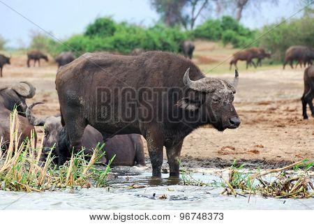 Buffaloes, Africa