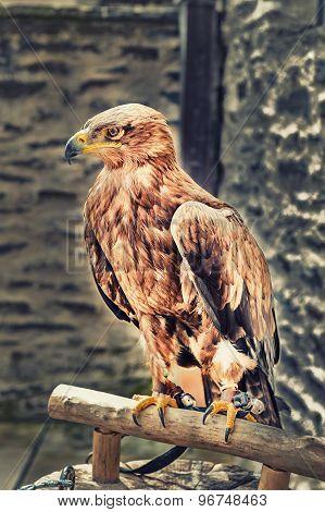 Closeup Of A Hawk