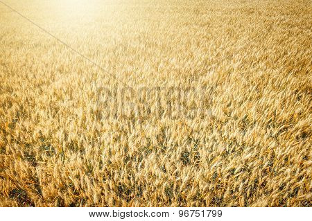 Top View Of Wheat Field At Harvest
