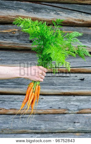 Bouquet Of Fresh Washed Carrot In Man Hand