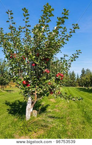 Honeycrisp apple trees in a farm orchard.