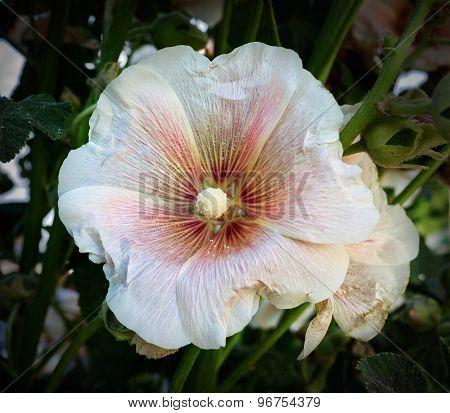 white flower mallow