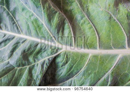 Cauliflower Leaf Closeup