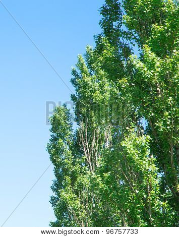 Green poplar tree