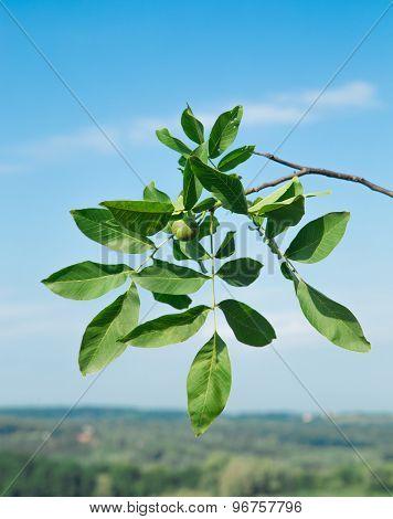Green walnut on a tree