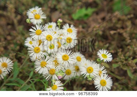Small chamomile flowers