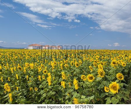 A Large Field Of Sunflowers With Houses