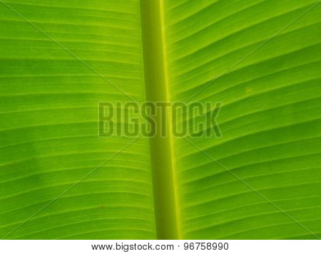 Abstract Of Banana Leaf Background.