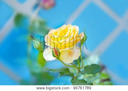 Yellow Rose With A Buds