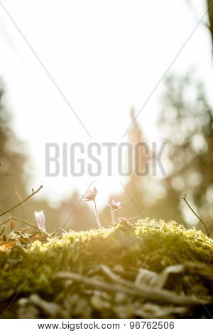 Beautiful Nature Concept -  Mossy Rock With New Delicate Blue Flowers
