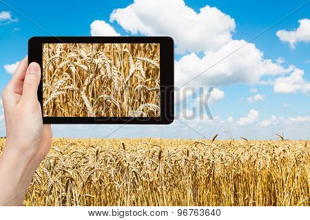 Tourist Takes Pictures Of Ears Of Wheat On Field