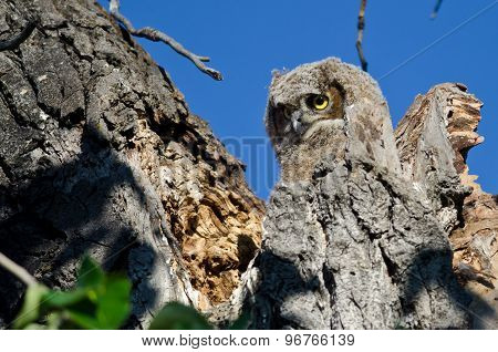 Adorable Young Owlet Looking Out From  Its Nest