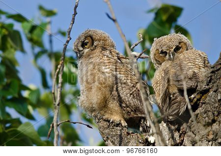 Two Young Owlets Resting In Their Nest