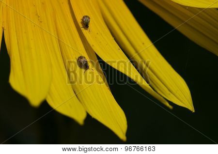 Pair Of Insects Resting On The Yellow Petals Of A Sunflower
