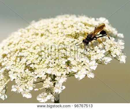 Dauber on Flower