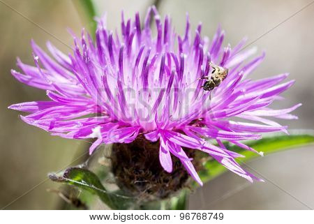 Small Bee on Swamp Thistle