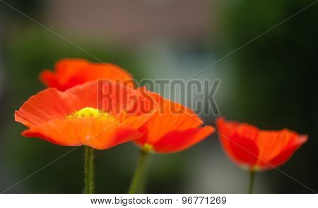Papaver poppy flower on background of green leafs