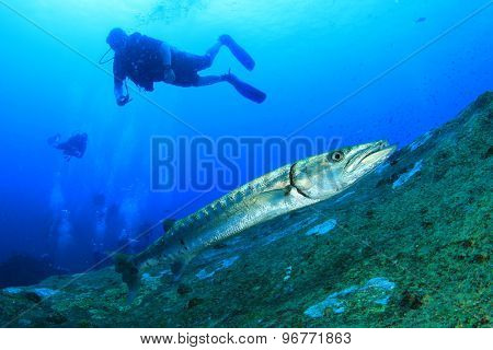 Great Barracuda fish and scuba divers