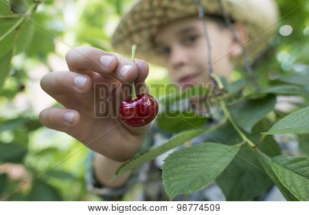 Child Harvesting Morello Cherries