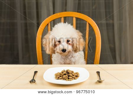 Uninterested poodle puppy with plate of kibbles on the dining table