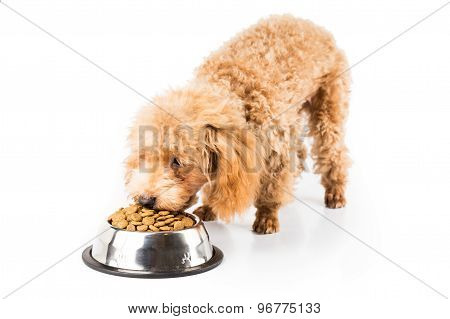 Skinny ooodle puppy eating dried dog food from a bowl