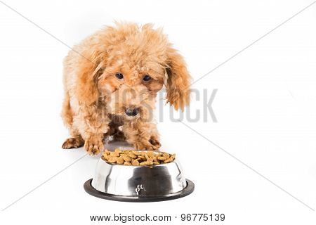 Skinny and malnutrition poodle puppy walking towards a bowl full of dried dog food
