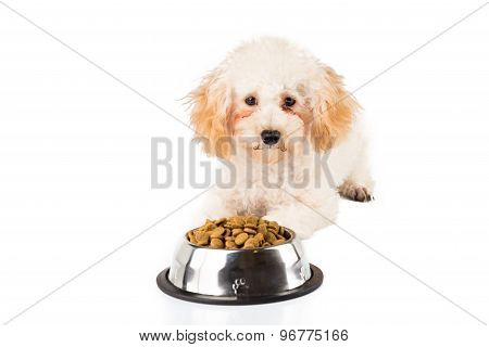Poodle puppy with her bowl of dried dog food