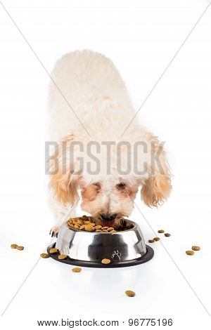 Poodle puppy eating dried dog food from a bowl