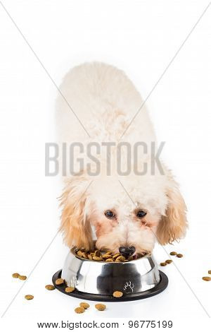 Poodle puppy eating dried food from a bowl