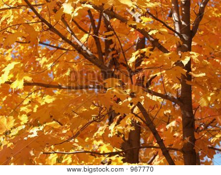 Golden Maple Trees