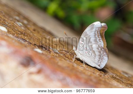 Redspot Duke Butterfly (euthalia Evelina)