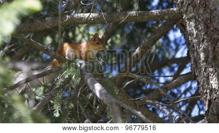 Squirrel On A Tree Among Branches