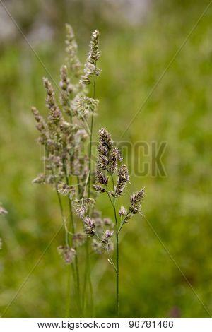 Flowering Sedge Grass