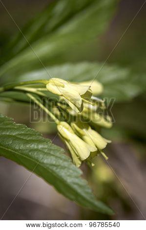 Dentaria enneaphyllos flower in a forest
