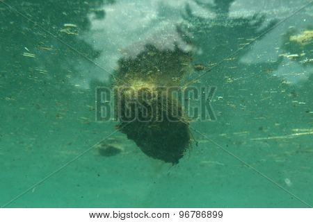 Excrements of hippopotamus (Hippopotamus amphibius) swimming in water. Wildlife animal.
