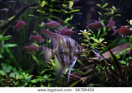 Deep Angelfish (Pterophyllum altum), also known the Orinoco angelfish. Wildlife animal.