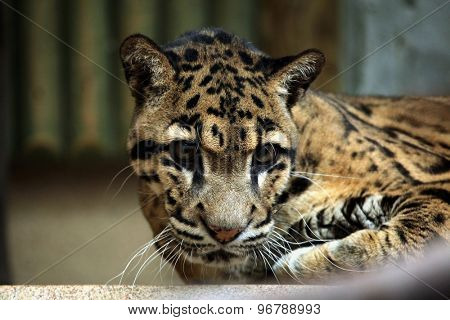 Clouded leopard (Neofelis nebulosa). Wildlife animal.