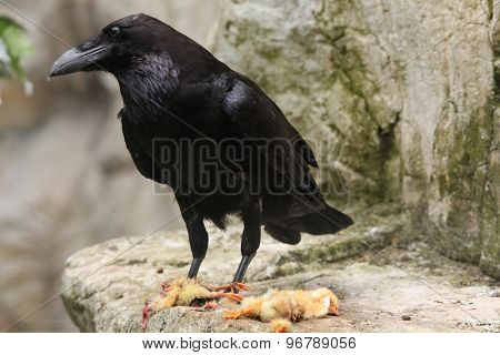 Common raven (Corvus corax) eating dead chicken. Wild life animal.