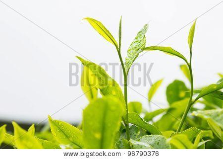 Highland tea plantation with focus on the tea leafs shoots
