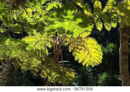 Fern Trees, Funchal, Madeira